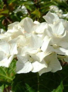 Hydrangea macrophylla Endless Summer (THE BRIDE, Witte bolvormige hortensia)