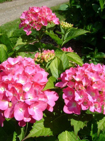 Hydrangea macrophylla King George V (Rozerode bolvormige hortensia)