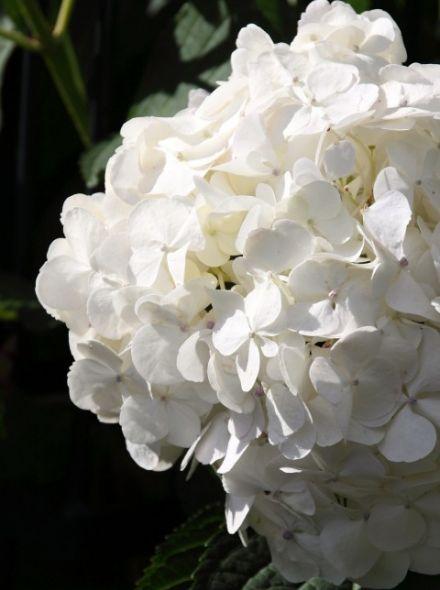 Hydrangea macrophylla Soeur Therese (witte bolvormige hortensia)