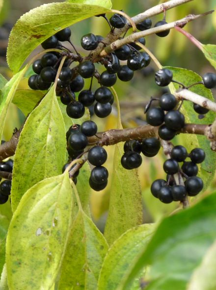 Sporkehout (Frangula alnus = Rhamnus frangula, bosplantsoen)