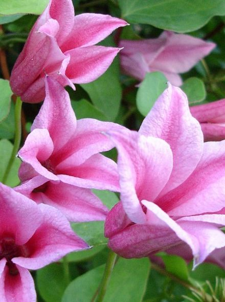 Clematis 'Duchess of Albany' (Bosrank of bosdruif)