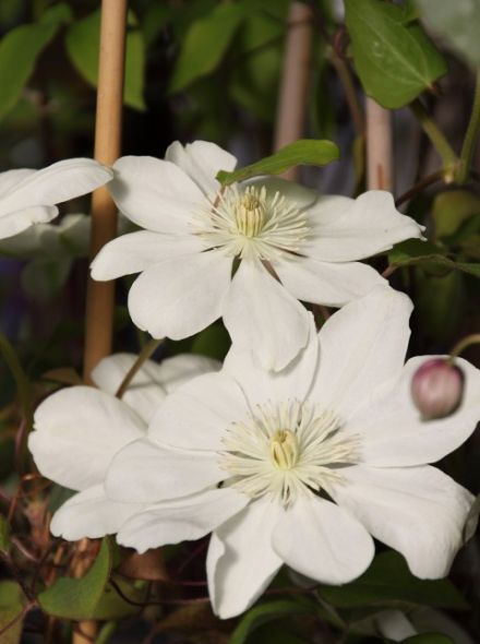 Clematis 'Mary Clair' (Bosrank of bosdruif_