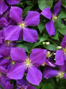 Clematis 'Viola' (Bosrank of bosdruif)