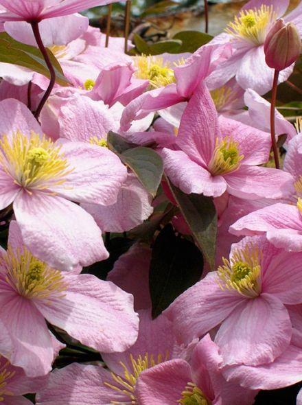Clematis 'Warwickshire Rose' (Bosrank of bosdruif)