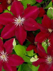 Clematis 'Westerplatte' - container