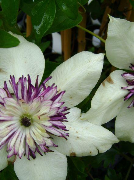 Clematis florida 'Sieboldii' (Bosrank of bosdruif)