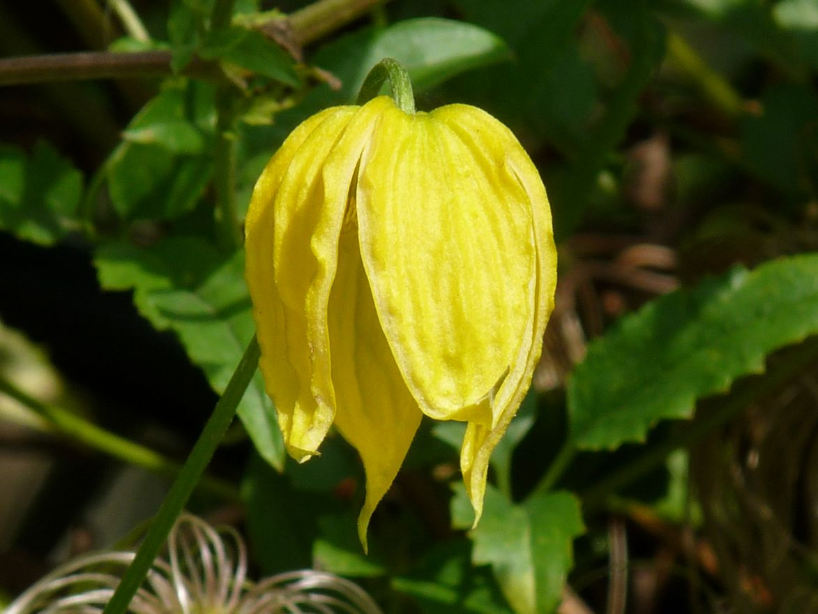 Clematis tibetana tangutica (Bosrank of bosdruif)