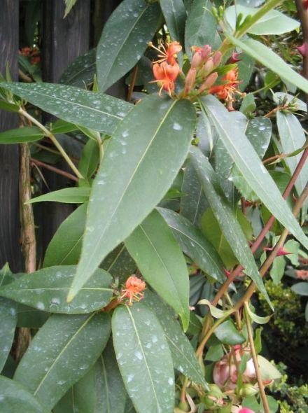Lonicera henryi - (kamperfoelie)