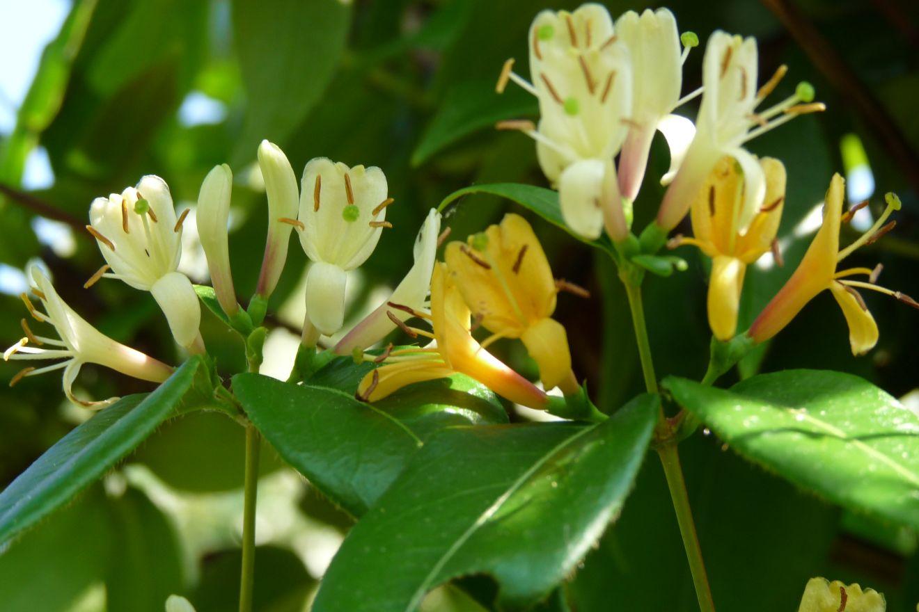 Lonicera henryi 'Copper Beauty' (kamperfoelie)