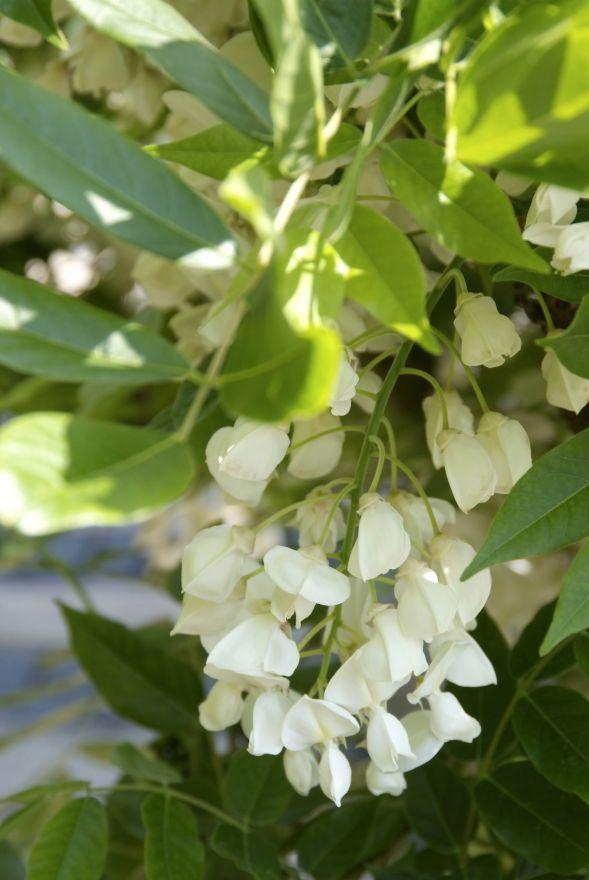 Wisteria floribunda 'Alba' (Wit bloeiende Blauwe regen)