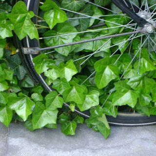 Hedera Hibernica 60/80 cm  (in pot) klimop