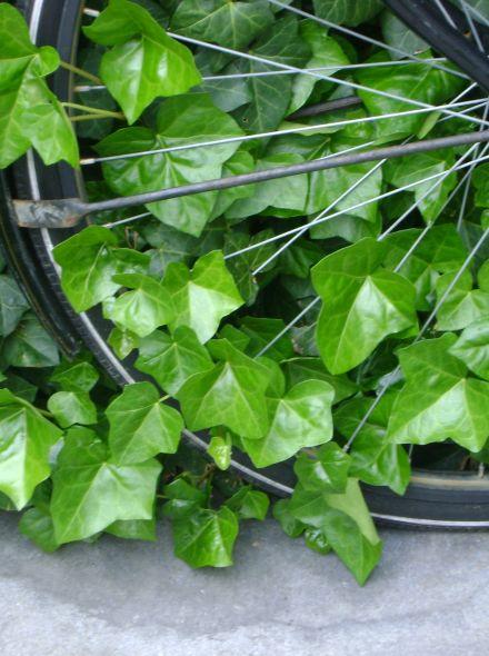 Hedera Hibernica 125/150 cm  (in pot) klimop