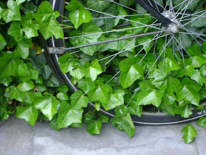 Hedera Hibernica 50/60 cm  (in pot) klimop