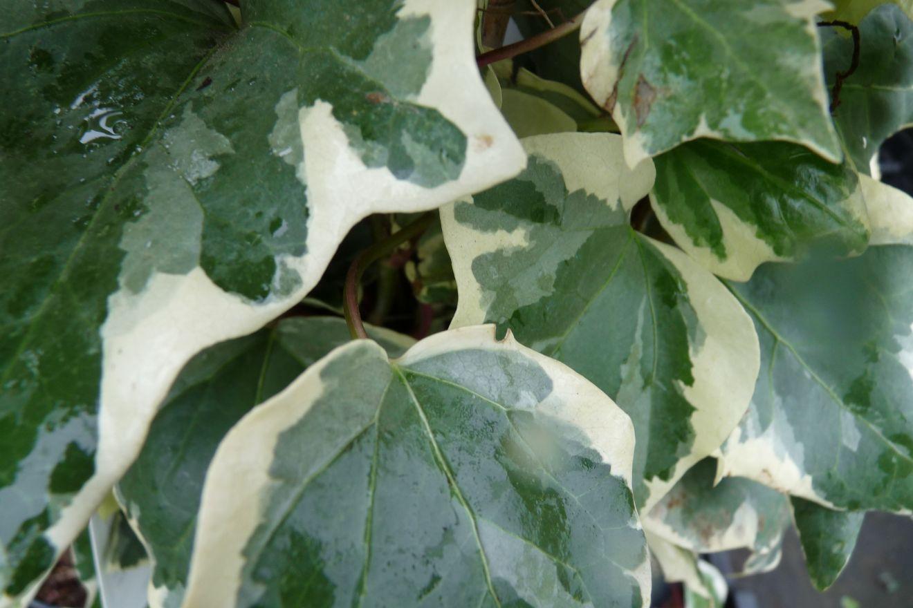 Hedera algeriensis 'Gloire de Marengo' (Bont bladige klimop)