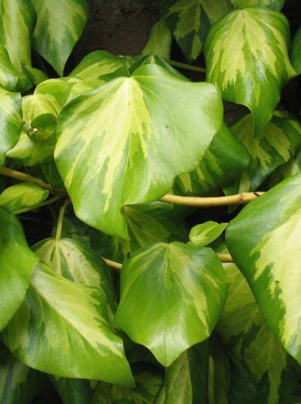 Hedera colchica 'Sulphur Heart' (Bonte klimop)