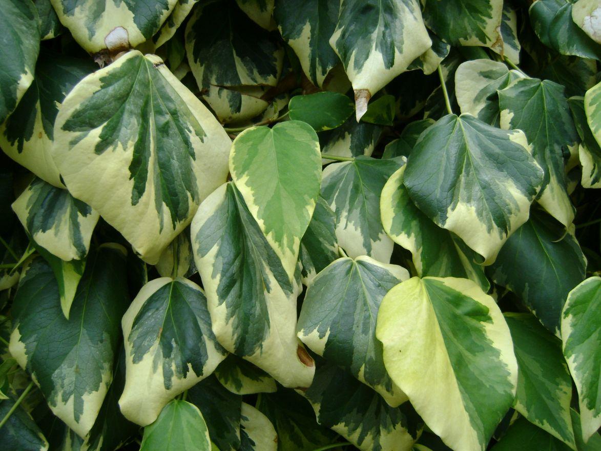 Hedera colchica 'Dentata Variegata' (Bontbladige klimop)