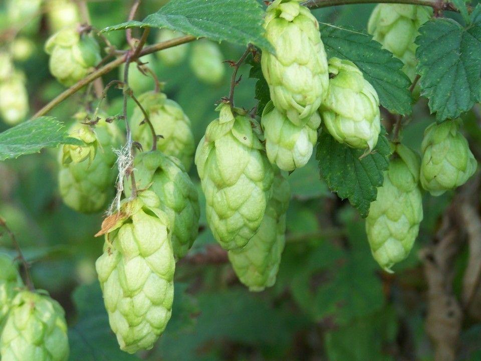 Humulus lupulus (Hop)