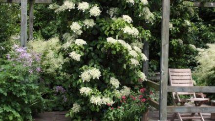 Klimhortensia (Hydrangea anomala petiolaris)
