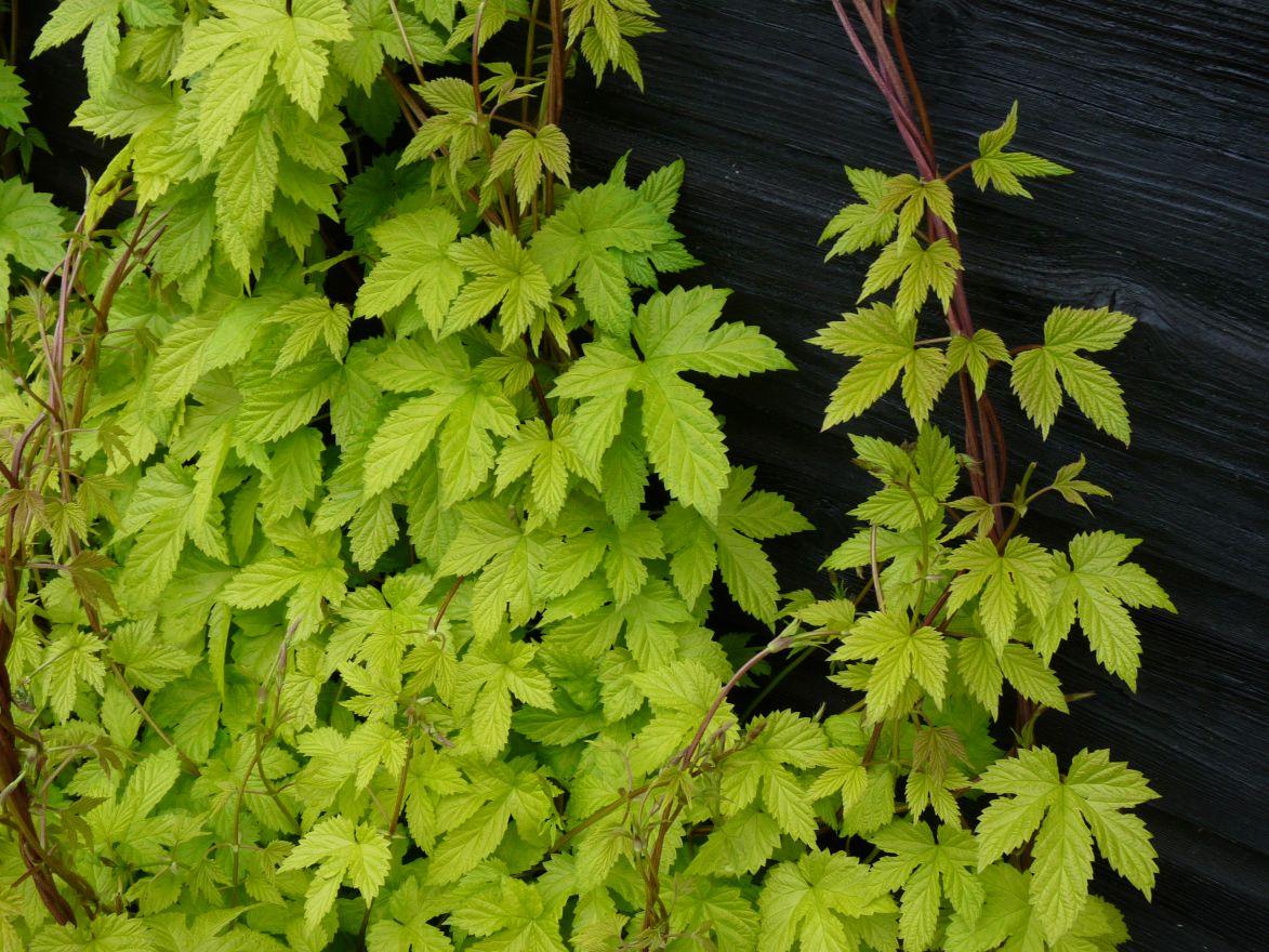 Humulus lupulus 'Aureus' (Gele hop)