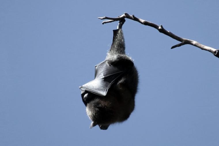 Wat kunnen wij, behalve corona, nog meer overnemen van vleermuizen