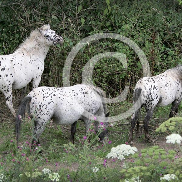 Paarden in de Uiterwaarden