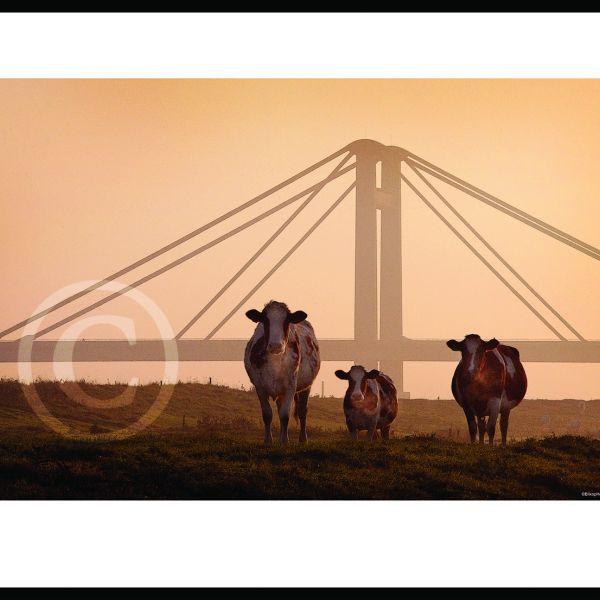 Koeien tafereel bij PWA brug
