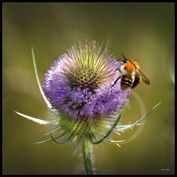 Zoemende bijen