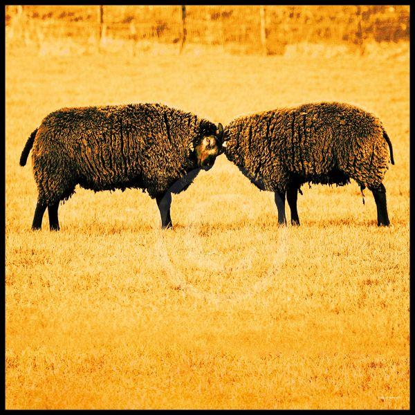 Twee schapen