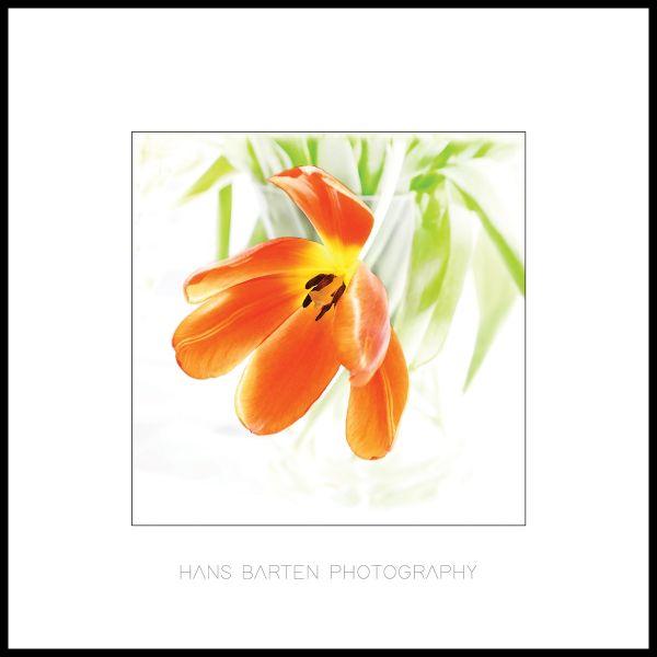 Oranje tulp
