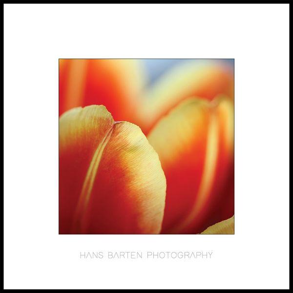 Tulpenblaadjes