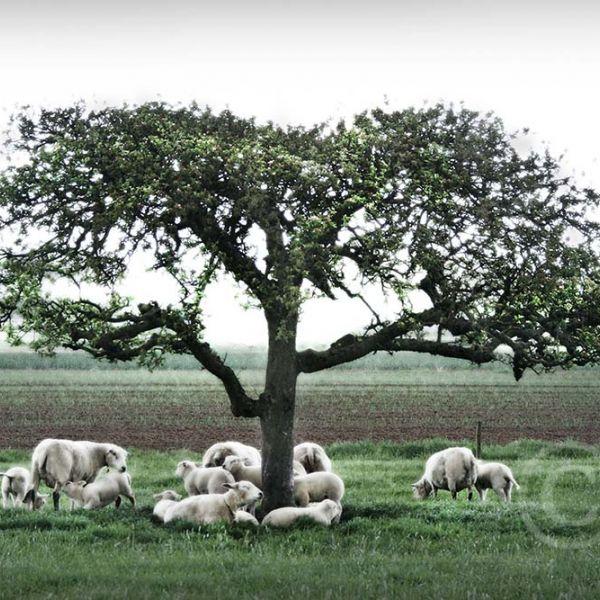 Schapen onder boom