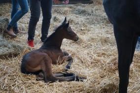 Eerste veulen geboren dit jaar van Bordeaux