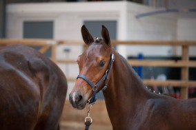 Foundation and Five Star receive positive comments during Central KWPN offspring keuring